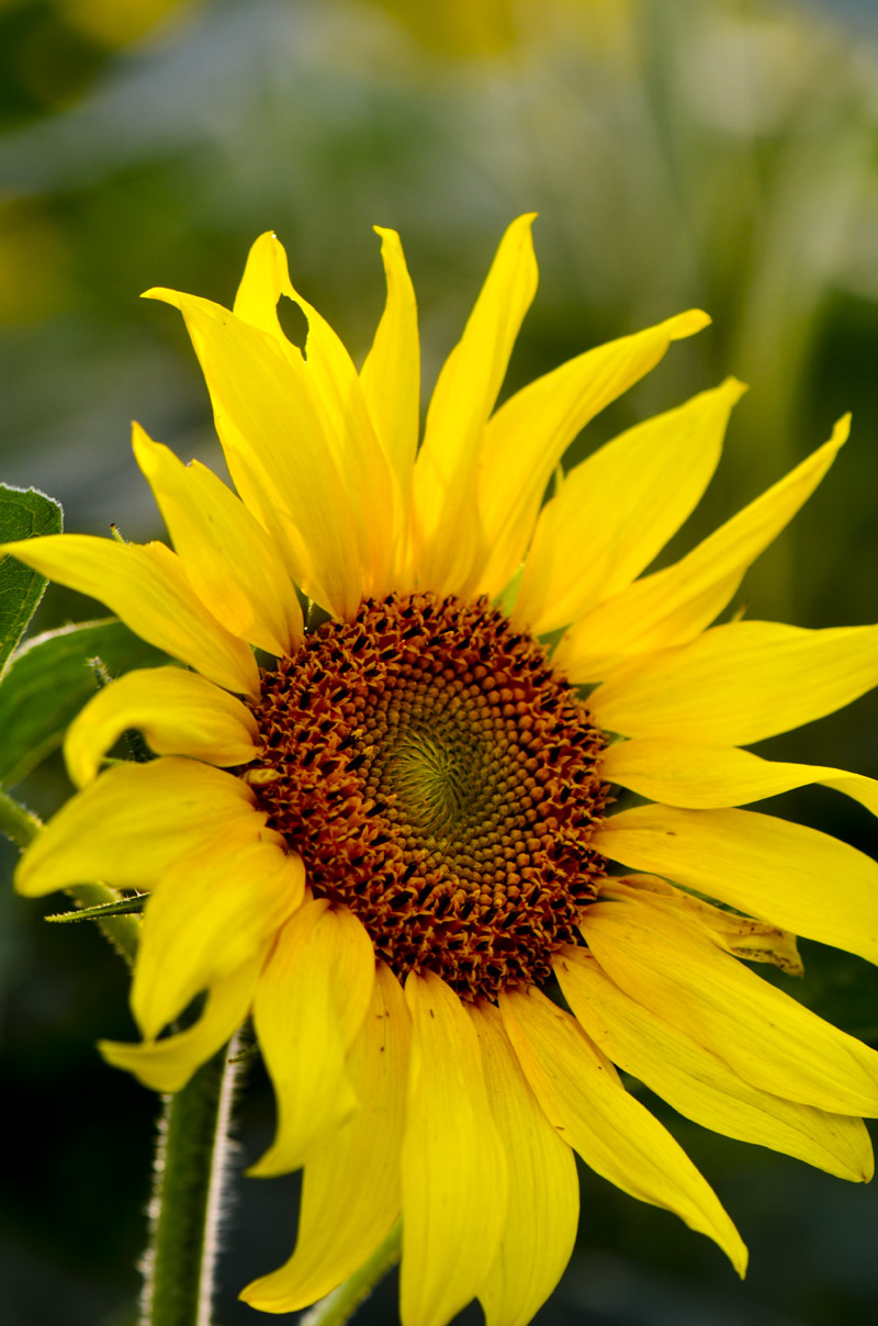 sunflower pics 028